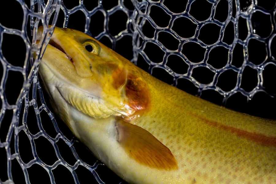 Palomino Trout In a Net
