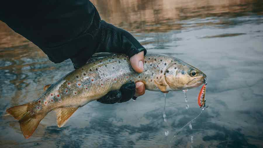 How to fillet a trout: Trout caught by fisherman.